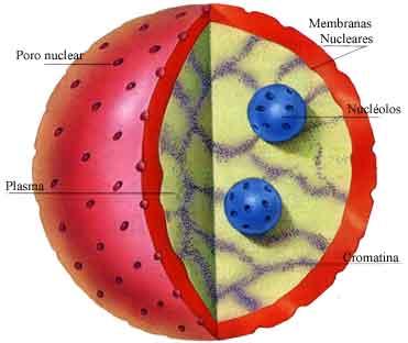 funcion nucleo celula: