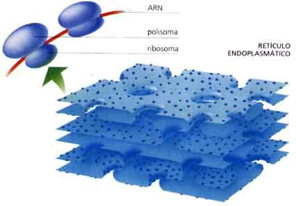 Estructura reticulo endoplasmatico liso y rugoso