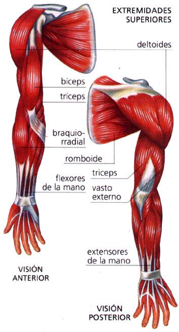 Sistema Muscular - Apuntes - - Biologia - Foros de Educación y Ayuda ...