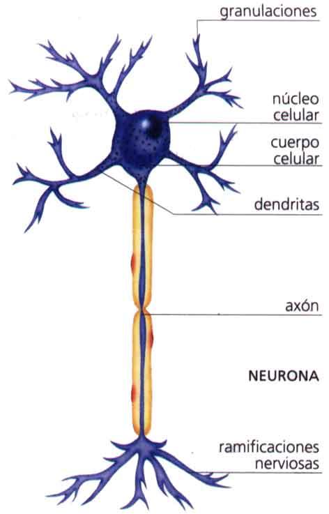 http://www.araucaria2000.cl/snervioso/neurona2.jpg